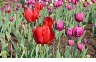 tulipes 2 (Copier)