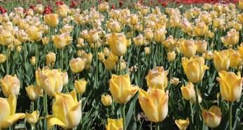 tulipes (Copier)