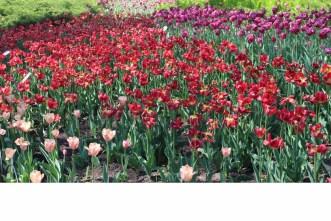tulipes1 (Copier)
